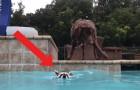 Un orsetto lavatore si lancia in piscina: ciò che fa il cane subito dopo è dolcissimo
