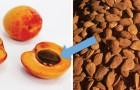 Il s'est empoisonné avec le cyanure pour avoir mangé des graines d'abricot, croyant vaincre une tumeur