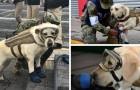 Ecco il cane eroe che ha già salvato 52 persone scavando tra le macerie in Messico