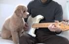 Un chien guitariste