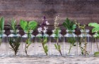 Here are 10 herbs that you can grow in water and use fresh all year long