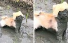 All the reasons why you should not let your dog play in the mud summarized in 20 photos