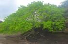 Tutti i segreti dell'albero della morte, la pianta più pericolosa della terra