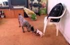 Respekt vor diesem kleinen Hund