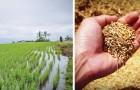 Des chercheurs chinois inventent un riz qui se cultive dans l'eau salée et qui pourra nourrir plus de 200 millions de personnes