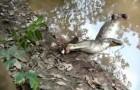 Alligatore attacca un'anguilla elettrica