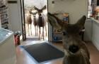 Un cervo entra in un negozio in cerca di cibo ma è mezz'ora dopo che avviene la sorpresa