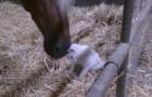 Gatito se hace acariciar por un caballo