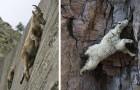 10 foto di capre che se ne fregano della forza di gravità