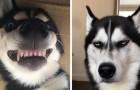 20 urkomische Beweise, dass Huskies die absolut kommunikativsten Hunde sind