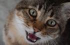 I gatti parlano due lingue: una l'hanno sviluppata apposta per farsi capire da noi umani