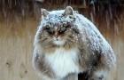 Deze Siberische katten hebben een boerderij overgenomen en de harten van iedereen gestolen doordat ze er zo koninklijk bij zitten