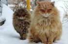 Een kolonie Siberische katten die de boerderij bewaken: deze katten zullen jou ook veroveren