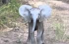 Kleiner Elefant greift Touristen an, dann überlegt er es sich aber doch nochmal