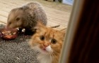 An opossum steals a cat's dinner and the cat reacts in the funniest of ways