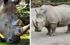 Le dernier mâle rhinocéros blanc du nord s'est éteint: l'avenir de l'espèce s'assombrit