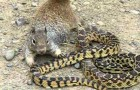 Squirrel Vs snake ! You don't see this happening very often !
