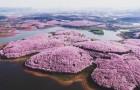 De kersenbloesems zijn net gaan bloeien in China... en bieden een spektakel dat je niet mag missen