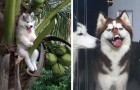 These 22 photos show that Huskies are the most bizarre and expressive dogs on this planet!