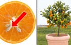 6 trees that you can grow from fruit tree plants created from fruit seeds ...