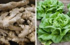 6 vegetables that you can regenerate conveniently at home from kitchen scraps!