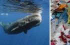 Trouvé un cachalot échoué sur une plage espagnole : dans son estomac 30 kg de déchets plastiques