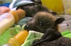 Looking after young bats orphans