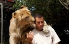 Le bonjour de mes amis les lions