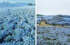 Alle kennen die Kirschblüte in Japan, aber die Blüte der blauen Hainblumen ist genauso faszinierend