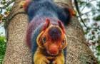 Ce gigantesque écureuil au pelage coloré est presque trop beau pour être vrai.