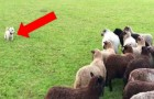Ce petit chien voulait effrayer les moutons, mais ce sont eux qui l'ont poursuivi