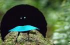Es wurde eine neue Vogelspezies entdeckt mit derart schwarzen Federn dass sie 99,95% des Lichts absorbieren können