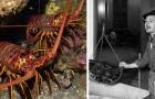 Aujourd'hui, manger du homard c'est haut de gamme, mais peu savent qu'il y a un siècle, les choses étaient très différentes