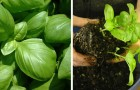 11 beneficial properties of basil and how to make it flourish also at home!