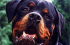 A Rottweiler stood guard over an abandoned newborn baby for an entire night and saved his life