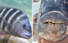 This fish has caught everyone's attention --- just look at its mouth to understand why!