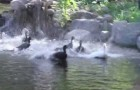 First swim for these neglected ducks
