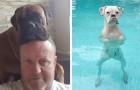 25 photos pour prouver que les boxeurs sont les chiens les plus amusants et bizarres qui soient.