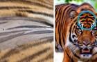 Vidéos de Tigres