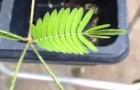 La pianta sensitiva