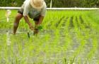 Les scientifiques estiment avoir trouvé un riz