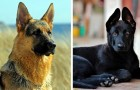 These 14 beautiful pictures show us that the German shepherd is one of the most beautiful dogs in the world!