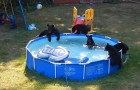 Mother bear brings her cubs for a swim in the pool and what the video camera captures is hilarious