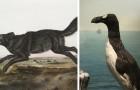 13 espèces que les premiers colons américains ont vues... mais que vous ne verrez que dans les livres de biologie