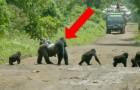 Il gorilla blocca il traffico per far attraversate la sua famiglia: il video della scena è straordinario