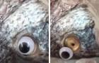 Desmascarada uma loja de peixes que colocava olhos falsos nos animais para que parecessem frescos