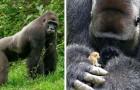 Un enorme gorilla si imbatte in una creatura minuscola... e la reazione stupisce anche gli esperti