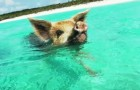 Nadando con los cerditos
