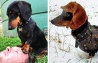 24 reasons why the dachshund is one of the most adorable dogs in the world!