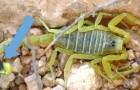 Il veleno di scorpione è il liquido più costoso del mondo, 39 milioni per meno di 4 litri: ecco il motivo